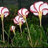 (3포트 1세트) 사랑초 :: 버시칼라(바람개비 사랑초)|