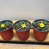 노랑애기사랑초( 새로입고 )꽃망울이 맺어 있어요|