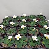 푸푸레야흰색사랑초(새로입고) 농장직영상품|