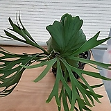 뉴리들리박쥐란/공중식물/미세먼지제거|