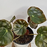 연잎베고니아(중품,목대))|