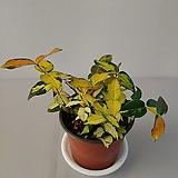 황금마삭줄 초특가|variegated