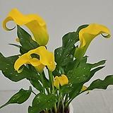 노랑 카라초특가|