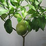 오리지널 레몬나무,대품C1554-외목대,동일품배송,무료배송|