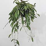 호야 웨이티 와이티 행잉플랜트 에어플랜트 공중식물 공중걸이식물|
