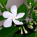 비타민자스민(꽃대수형/21)-동일품배송|