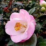 도태랑동백(꽃대수형/1)-동일품배송|