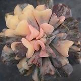 큐빅프로스티금대품(목대)최상급|Echeveria pulvinata Frosty