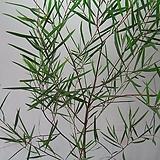 긴잎아카시아,대품C1562-오목대,동일품배송,무료배송|