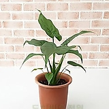 도희씨네 정원>> 촉촉하게 상큼한 하트 알로카시아 120|