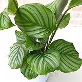 도희씨네 정원>> 초록이 스트라이프 오르비폴리아 130|
