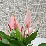 도희씨네 정원>> 러블리한 카라 안시리움 릴리 안시리움 160|Echeveria Lovely