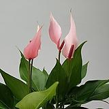 도희씨네 정원>> 러블리한 카라 안시리움 릴리 안시리움 소형 120|