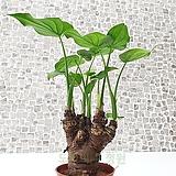 도희씨네 정원>> 초록하트 괴목 알로카시아 125|