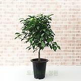 도희씨네 정원>> 초록대장 대만킹 벤자민 330|