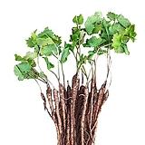 (아시아종묘/묘목) 어수리나물 종근(5개) 