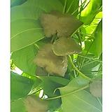 (아시아종묘/생물) 열매마 하늘에서 자라는 채소 돌을 닮은 채소 하늘마 1kg A03 