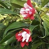 동백.공작동백.겹꽃.빨강+흰색 혼합색.포트지름15cm.상태굿.아주좋은상품.인기상품.|