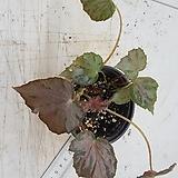 베고니아스트로베리크림266-b Echeveria Strawberry