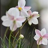 (아직도 구근을 구매하십니까?)키아네라 알바 핑크|Echeveria Alba Beauty