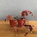 무늬마삭 :: 겨울홍화|