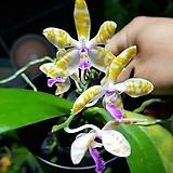 호접원종.34번.948p.bastianii var flava + P. mariae var flava.실생.노랑색의연보라색립프귀한품종.너무나예뻐요.아주좋은 향기.잎상태좋지않음.|