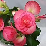 장미베고니아/분홍|