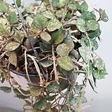 호야커티스(커티스)  공중식물  힌색 꽃이 피는아이에요   한정이에요|