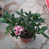 아제리아철쭉/핑크|