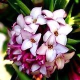 향기천리향(외목 꽃대수형)|