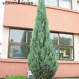스카이로켓 (H0.5m) - 정원 조경 울타리 나무 묘목 포트 