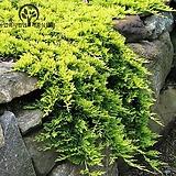 황금좀눈향(120L)-정원 분재 조경 포인트 나무 묘목 포트  