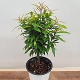 [진아플라워] 멋진 잎을 가진 행운을 가져다 주는 신종 피어리스  190|