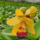 카틀레야.YR333.노랑색에빨강립술.아주예쁜색.향기좋은향.고급종.잘않나오는 품종.인기상품.꽃대.잎사귀싱싱해요.~|
