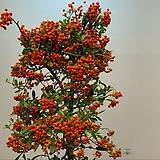 페라칸사스.빨강색 열매.30cm화분.!!!!노지월동짱짱짱!!!.상태굿.인기상품.|