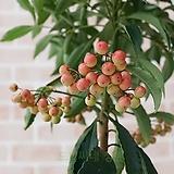 도희씨네 정원>> 빨간루비 열매 만냥금 150|