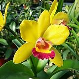 카틀레야.YR333.꽃대.노랑색에빨강립술.아주예쁜색.향기좋은향.고급종.잘않나오는 품종.인기상품.잎사귀싱싱해요.|