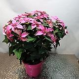 명품 핑크포인세치아(한몸) 중대품  고난을이겨내고 피어난 축복의꽃이에요|