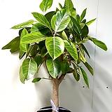 벵갈고무나무(단품입니다)  