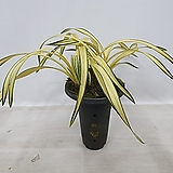 황금강-6촉|variegated
