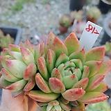 소후렌812|Echeveria agavoides Prolifera
