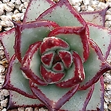 환엽 단엽 토파즈835|Echeveria agavoides Topaz