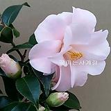 우의동백(꽃대수형/57.)-동일품배송|