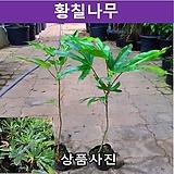 황칠나무 키50cm포트묘(2개묶음) 가림원예조경|