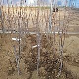 체리(우량대목)라핀 자가수정 결실주 분묘 가림원예조경|