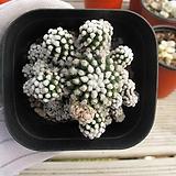 눈꽃선인장    02505|Mammillaria gracilis cv.