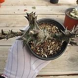 흑룡각    02574|Stapelianthus decaryi Choux