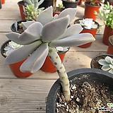 용월    02528|Graptopetalum paraguayense