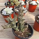 흑룡각    02570|Stapelianthus decaryi Choux