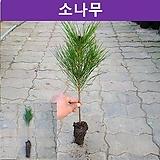 소나무(적송) 3년생 플러그묘 (5개묶음)|